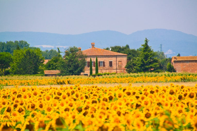 1a - Monteplucianosunflowers