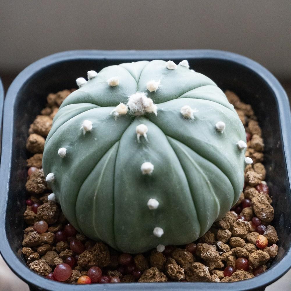 Astrophytum Asterias Fukuryu