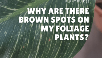 why are the brown spots on my foliage plants