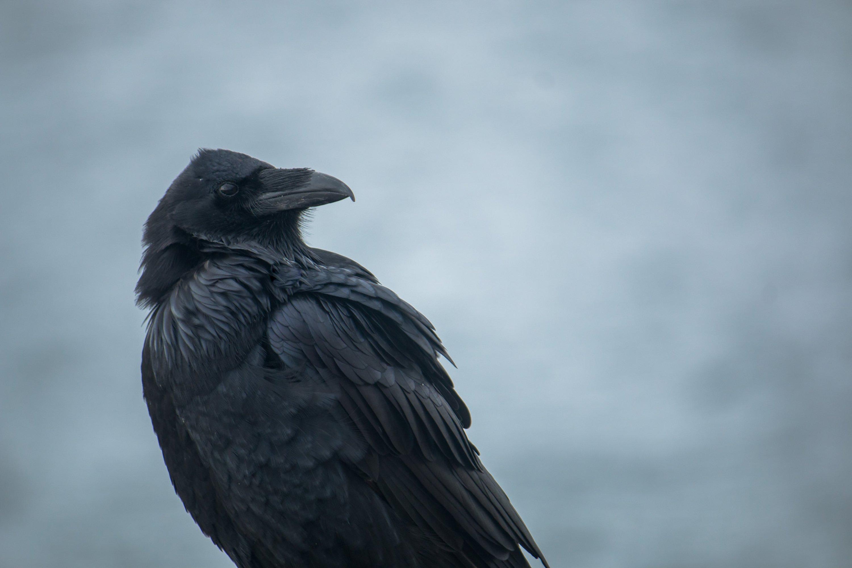 Raven Close Up Picography Free Photo