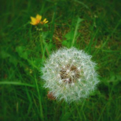 Day 2 – dandelion