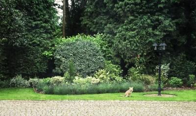 Day 263.2 – Foxy neighbour