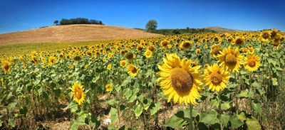 Day 279.2 – Tuscan sunflowers