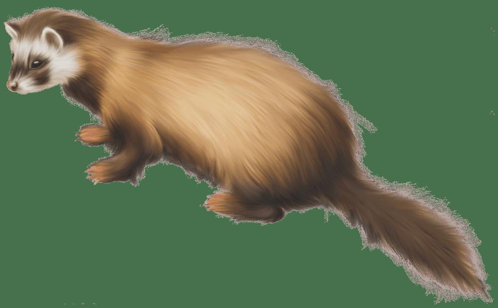 medium resolution of ferret png clip art