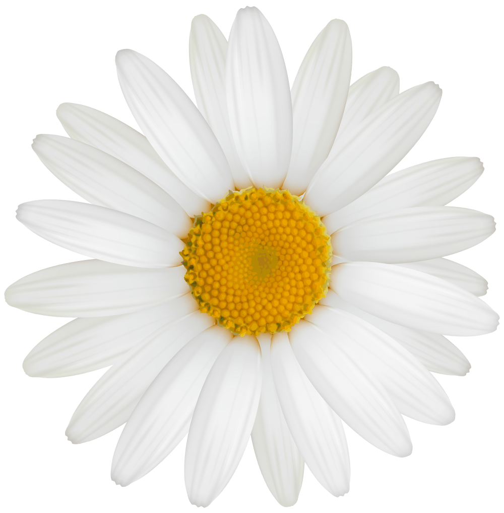 medium resolution of white daisy png clipart