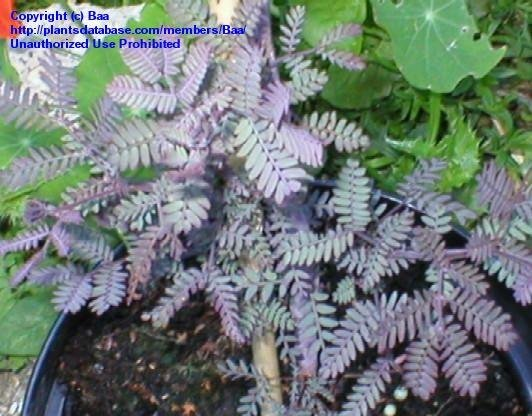PlantFiles Pictures Acacia Cootamundra Wattle Purple Fern Leaf Acacia Baileys Purple Acacia