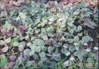 PlantFiles Pictures: Carpet Bugle, Bugleweed 'Burgundy ...