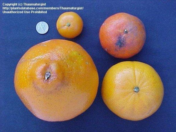 PlantFiles Pictures Citrus Tangelo Honeybell 39Minneola