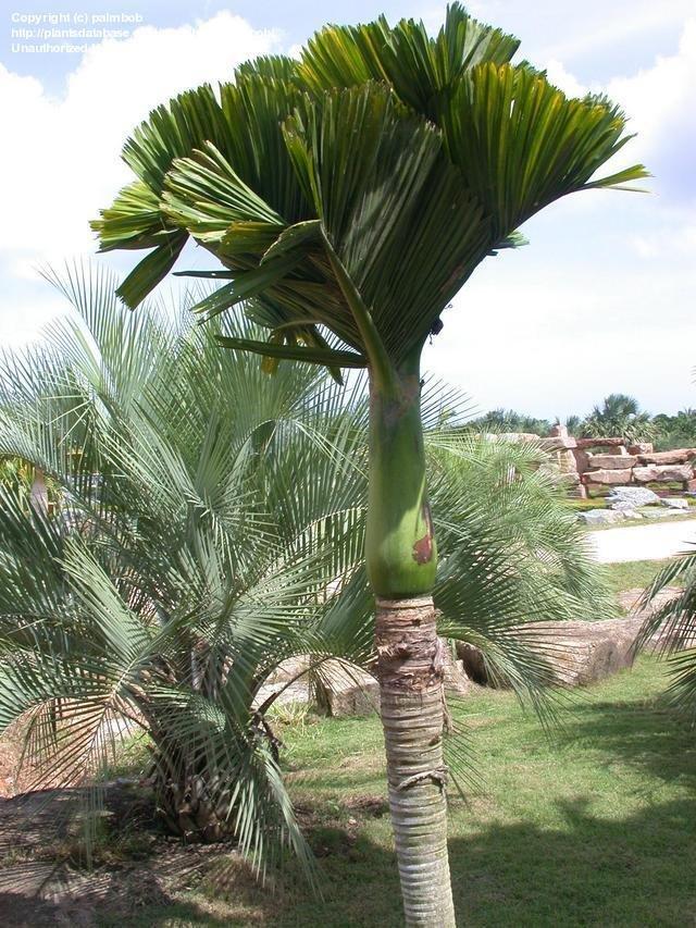 PlantFiles Pictures Dwarf BetelNut Palm Dwarf Areca