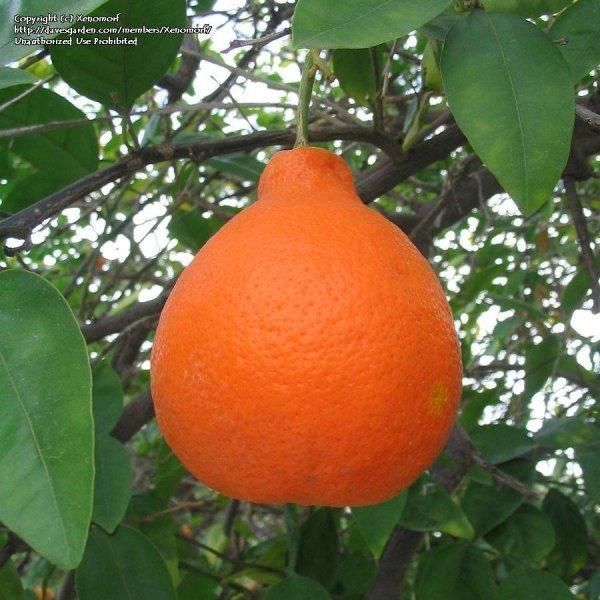 PlantFiles Pictures Tangelo Tree 39Minneola39 Citrus x