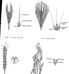 plant identification closed wheat or barley or 1 by baa diagram of barley plant [ 800 x 1078 Pixel ]