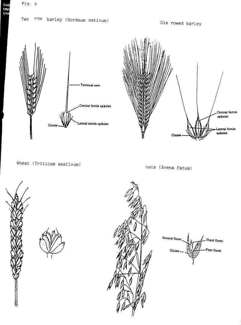 medium resolution of plant identification closed wheat or barley or 1 by baa diagram of barley plant