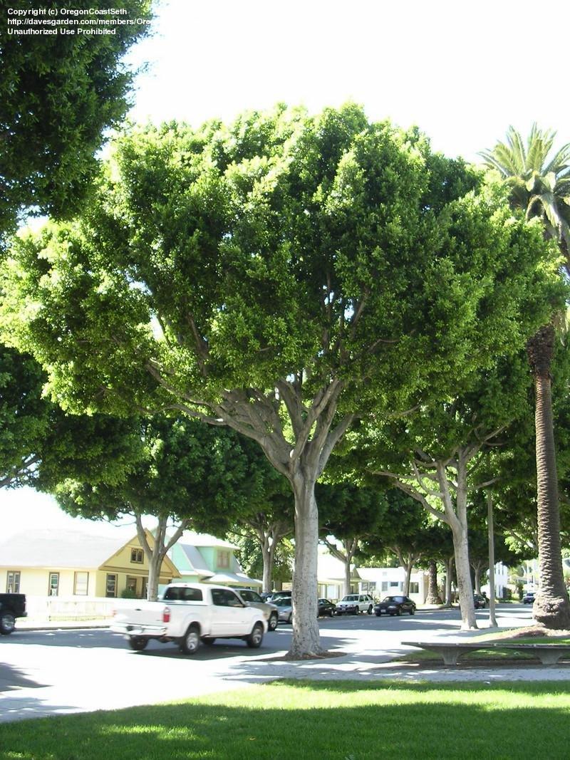 PlantFiles Pictures Cuban Laurel Indian Laurel Fig