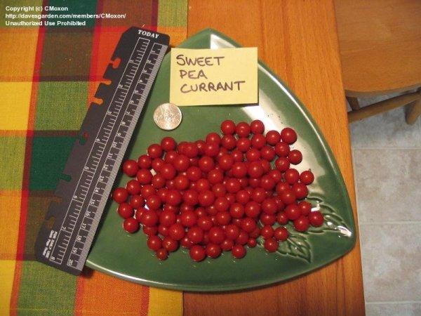 sweet pea currant # 17