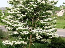 PlantFiles Pictures: Doublefile Viburnum, Japanese ...