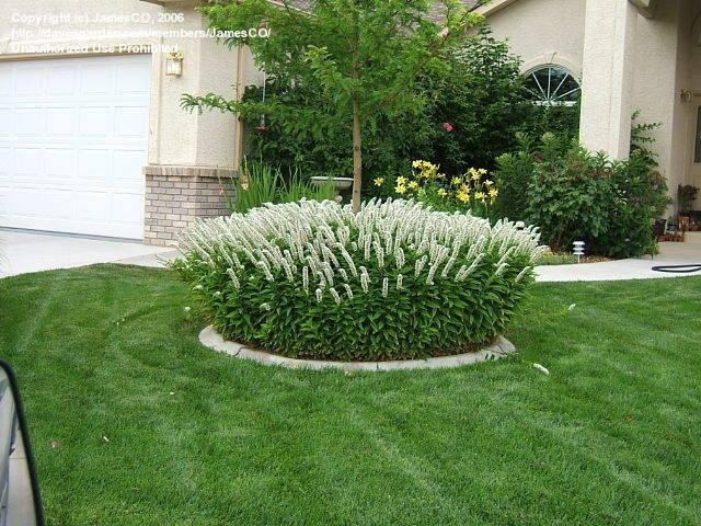 Image result for lysimachia clethroides