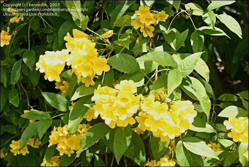 Yellow Bells Trumpet Bush