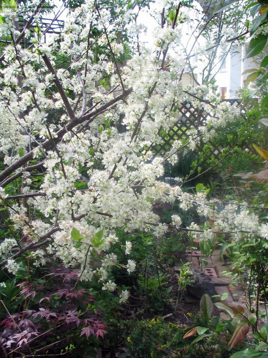 PlantFiles Pictures Beach Plum Prunus maritima by mgarr