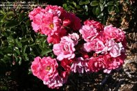 PlantFiles Pictures: Shrub Rose 'Rosy Carpet' (Rosa) by ...