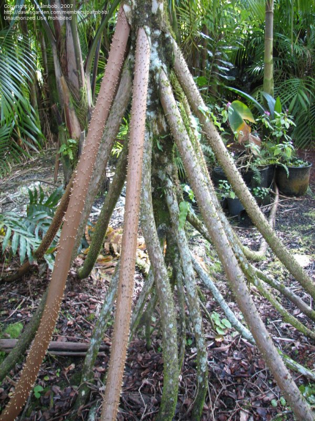 Plantfiles Walking Palm Stilt Curly