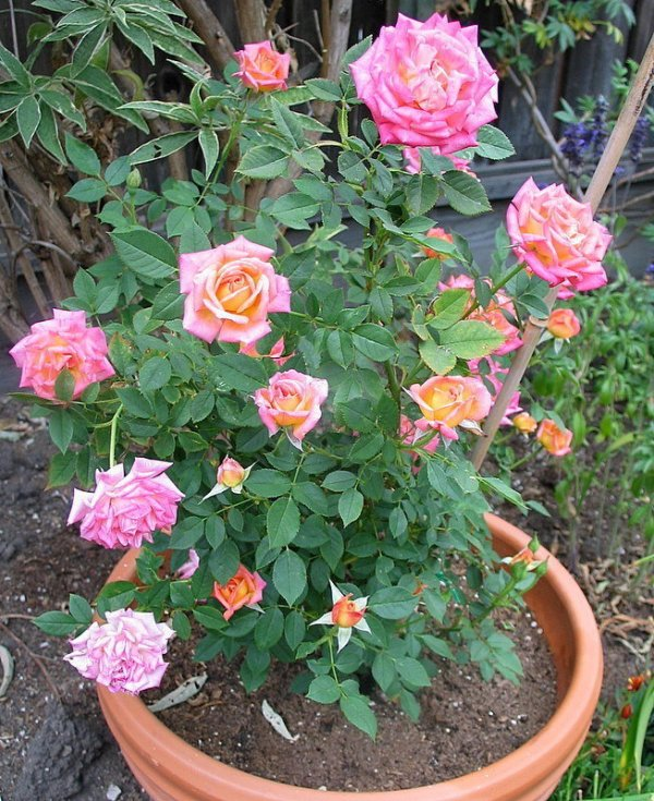 PlantFiles Pictures Miniature Rose Hot Tamale Rosa by