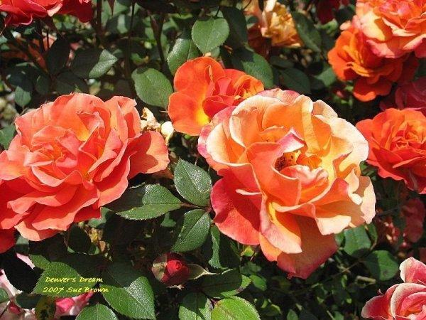 PlantFiles Pictures Miniature Rose Denvers Dream Rosa