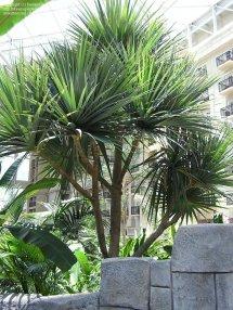 Plantfiles Madagascar Screwpine Pandanus