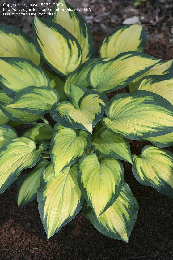plantfiles hosta 'orange
