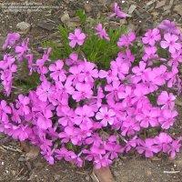 PlantFiles Pictures: Creeping Phlox, Moss Phlox 'Moerheim ...