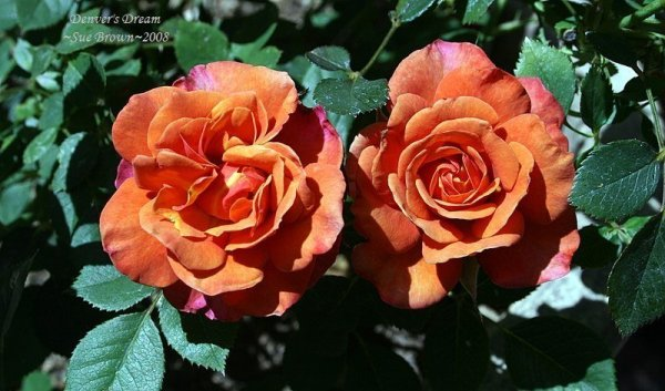 PlantFiles Pictures Miniature Rose Denvers Dream Rosa