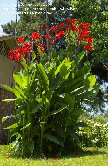 plantfiles canna lily