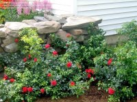 PlantFiles Pictures: Shrub Rose, Groundcover Rose 'Flower