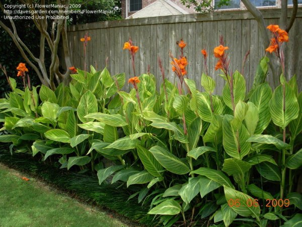 plantfiles orange-flowered