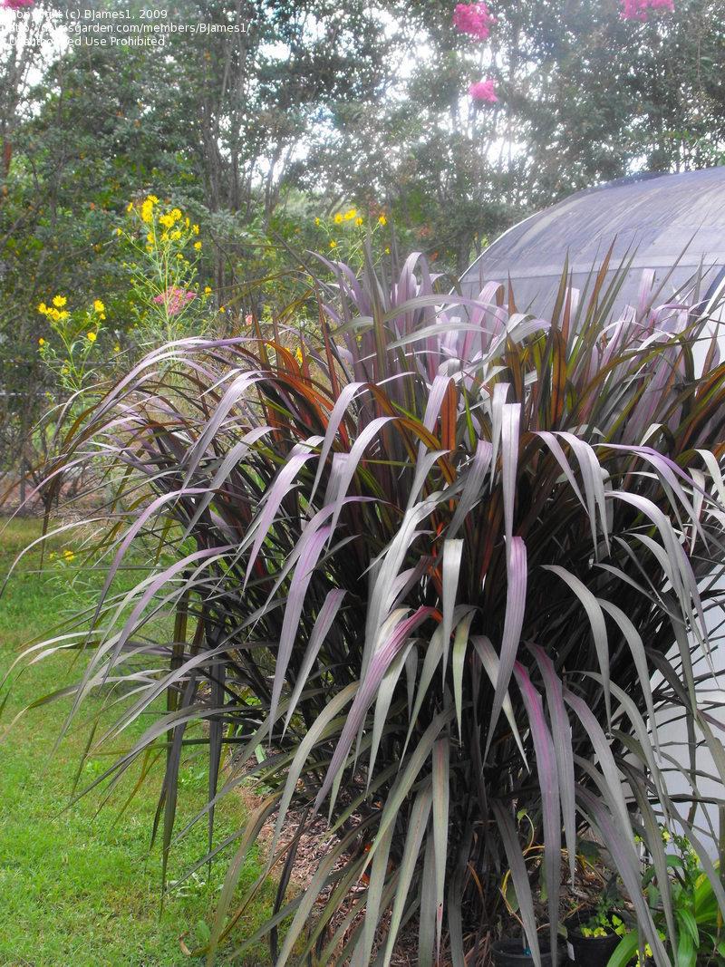 PlantFiles Pictures Napiergrass Elephant Grass Prince