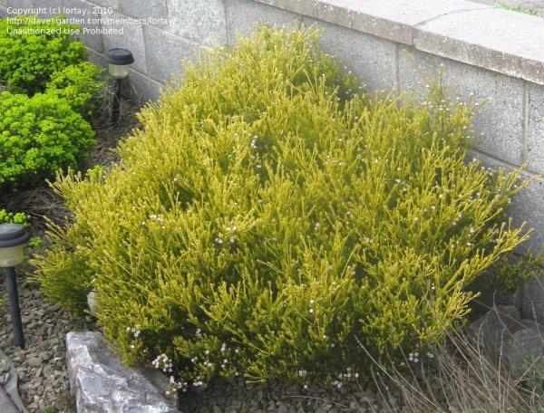 plant identification closed dwarf