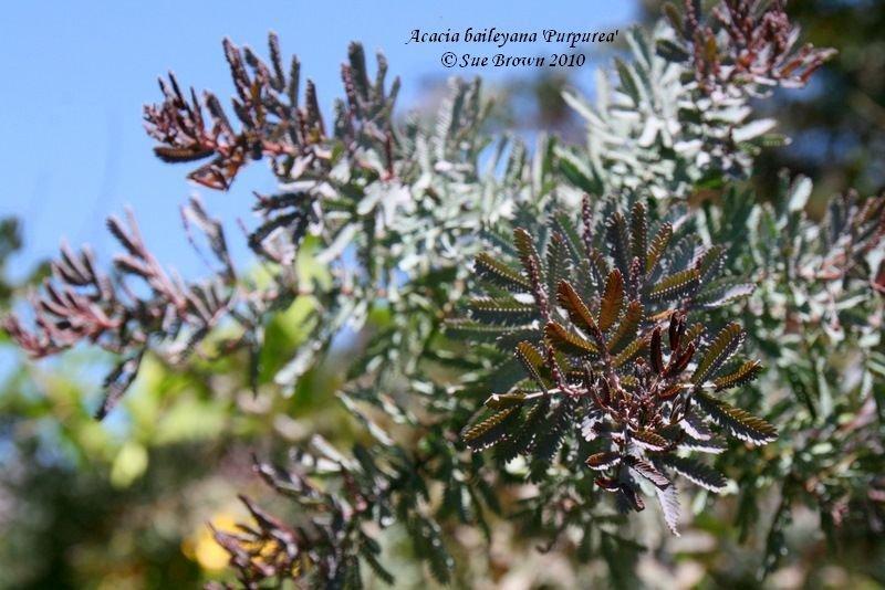 PlantFiles Pictures Acacia Baileys Purple Acacia Cootamundra Wattle Purple Fern Leaf Acacia