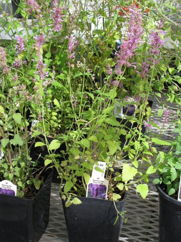 PlantFiles Pictures Agastache Giant Hyssop 39Rose Mint