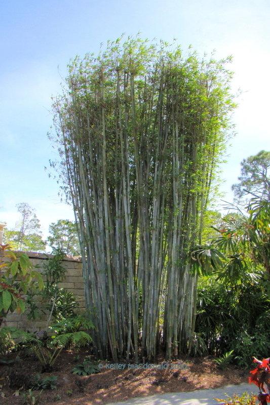 plantfiles tropical blue