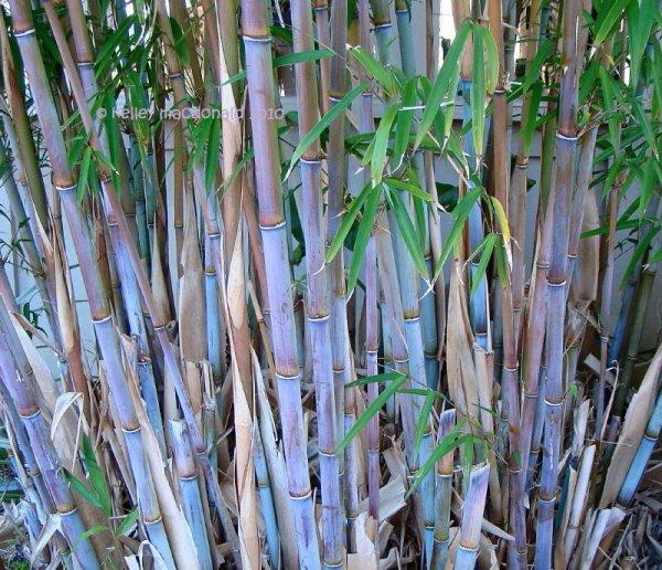 plantfiles himalayacalamus