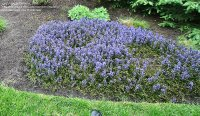 PlantFiles Pictures: Ajuga, Bugleweed, Carpet Bugle ...