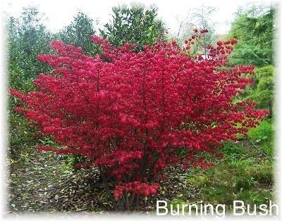 burning bush # 94