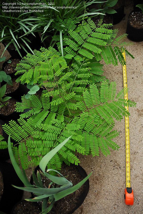 Royal Poinciana Bonsai : royal, poinciana, bonsai, Southwest, Gardening:, Royal, Poinciana, Bonsai, Project,, Tucsonplumeriaz