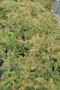 PlantFiles Pictures: Siberian Carpet Cypress, Russian ...