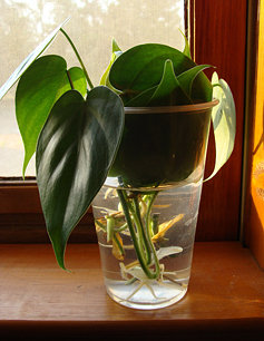 A Philodendron recently rooted in water