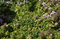 PlantFiles Pictures: Creeping Thyme 'Magic Carpet' (Thymus ...