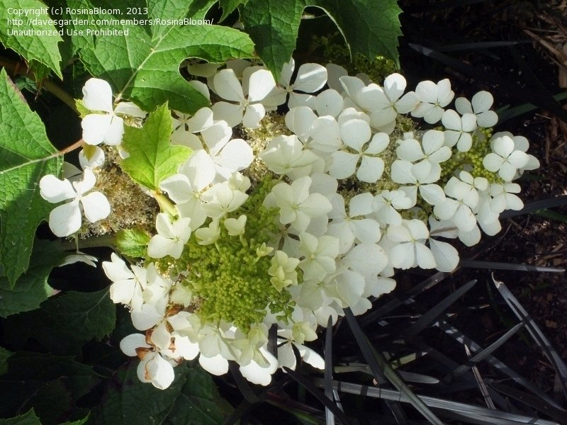 Tamanho original da Oakleaf hortênsia (Hydrangea <i> quercifolia </ i>)