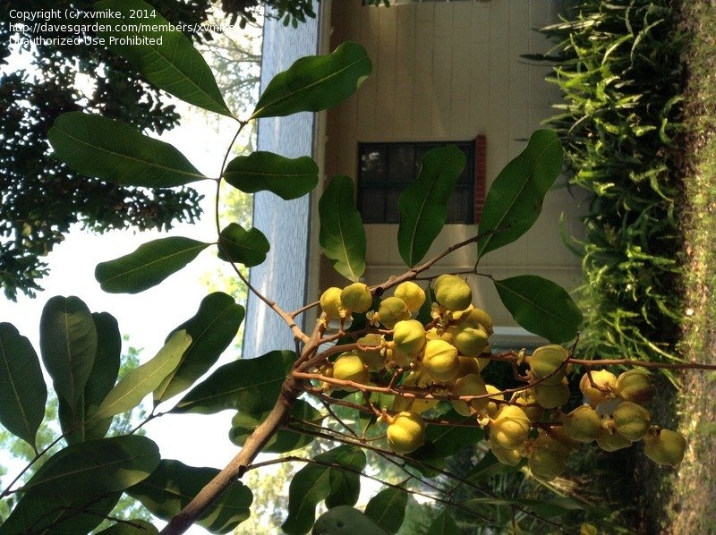 Plant Identification: CLOSED: Tree with bunches of small ...