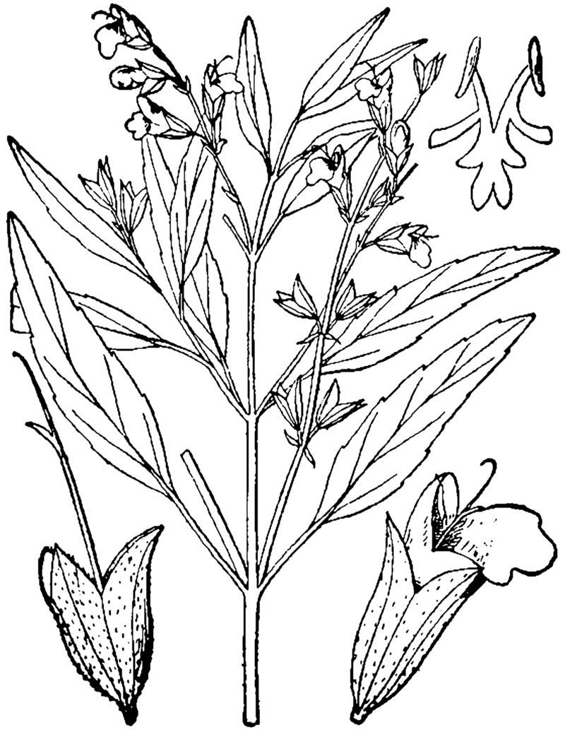 PlantFiles Pictures: Salvia Species, Lanceleaf Sage