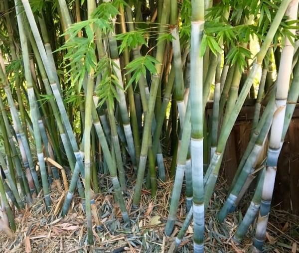 plantfiles bambusa tropical