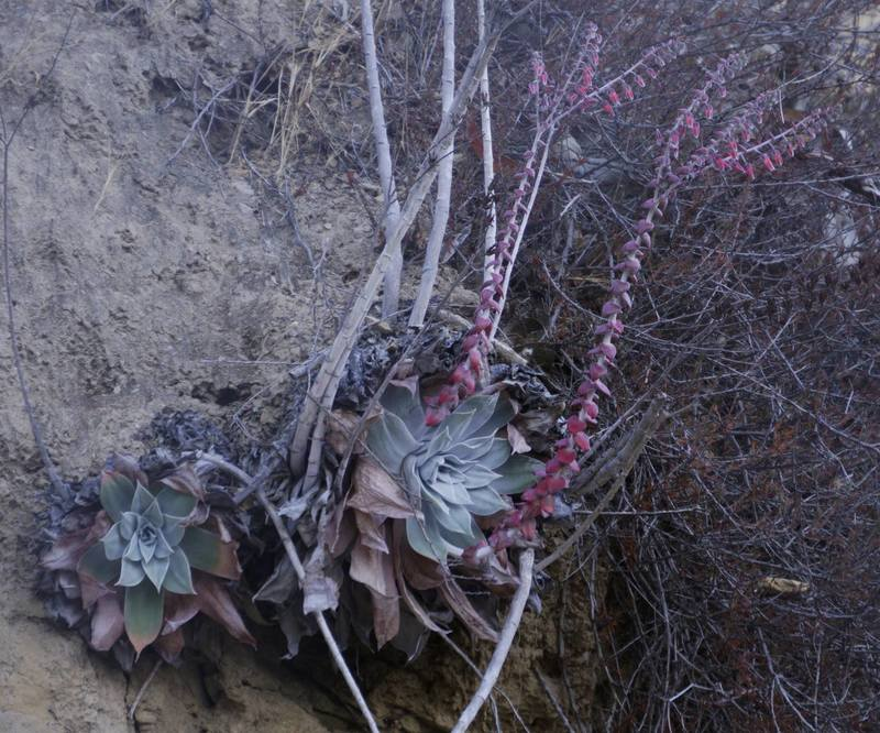 plantfiles pictures dudleya species